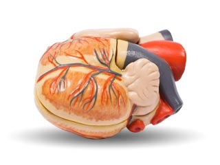 A photo of a model of the human heart