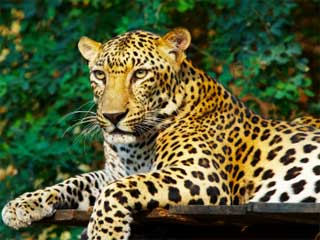 A photo of a Leopard