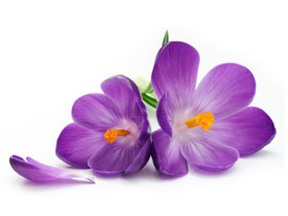 A photo a purple crocus