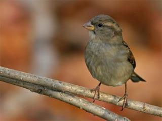 A photo of a sparrow on a branch