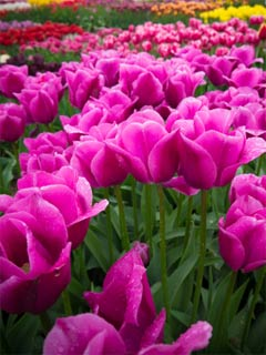 A photo of several pink tulips