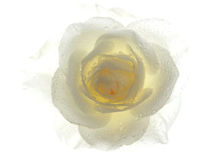 A photo of a white rose on the snow