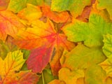 A photo of Autumn leaves in shades of green, yellow, red, and orange