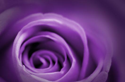 A photo of a purple rose
