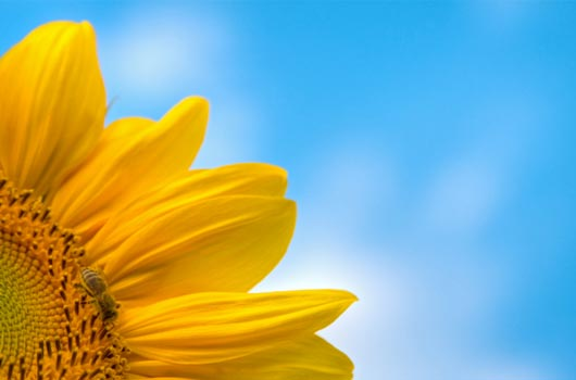 A photo of yellow sunflower against a blue sky