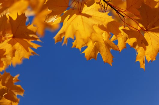 A photo of yellow-orange maple leaves against a vivid blue sky