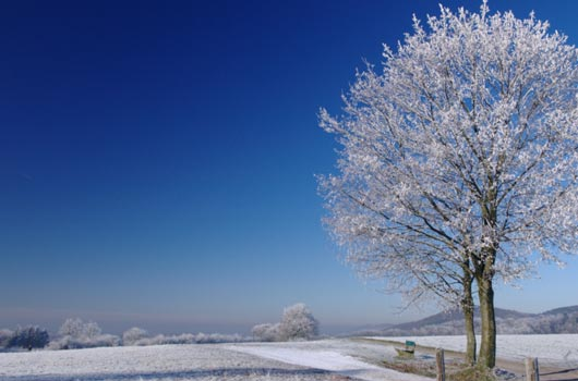 A photo of a single leafless frost covered tree against a vivid blue sky