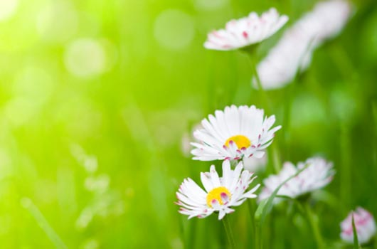 A photo of white daisies in a field of green
