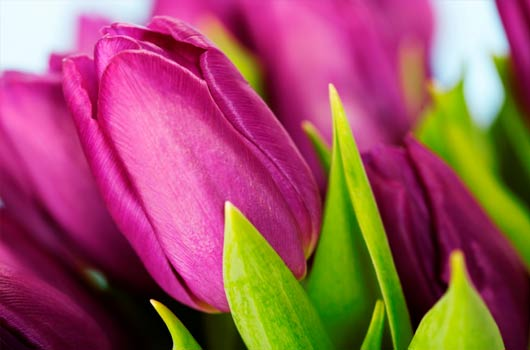 A photo of purple tulips