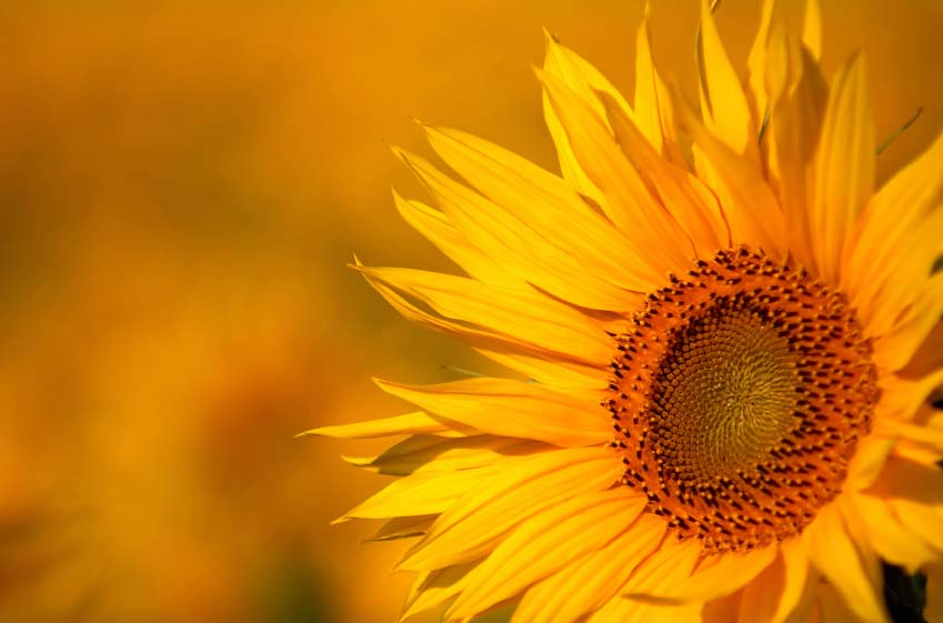 A photo of a sunflower