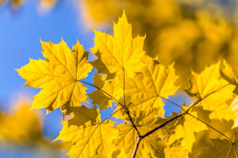 A photo of yellow leaves