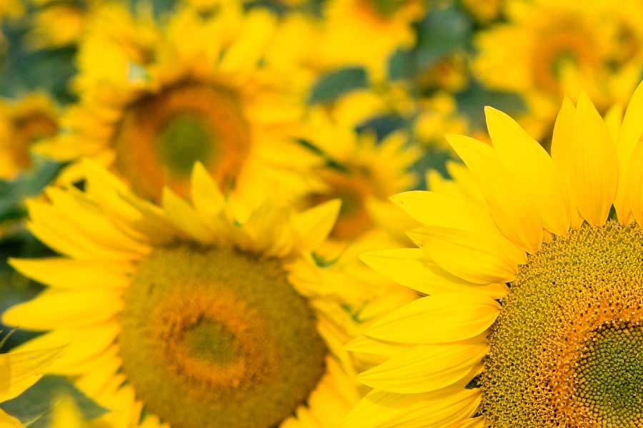 A photo of sunflowers