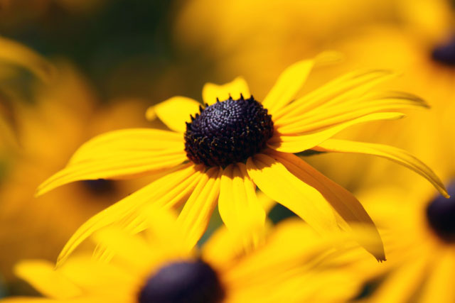 A photo of Black Eyed Susans.