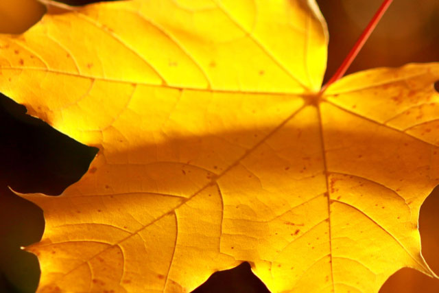 A photo of a yellow leaf.