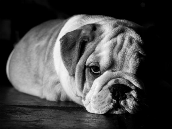 A photo of a bulldog