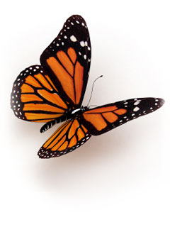 A photo of an orange and black butterfuly