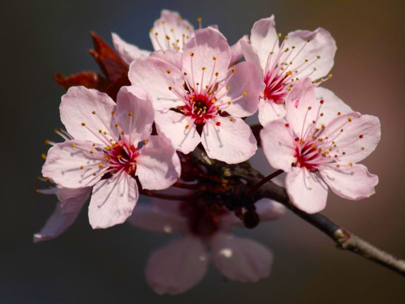 An photo of cherry blossoms