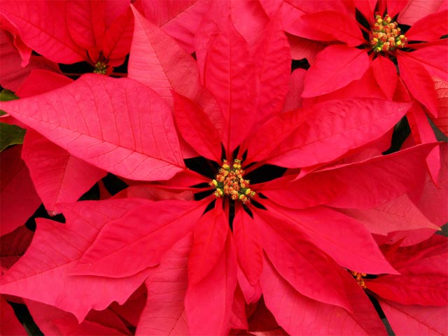 A photo of Christmas Flowers