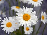 Photo of white daisies with yellow centers