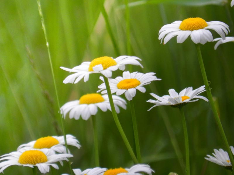 A photo of daisies