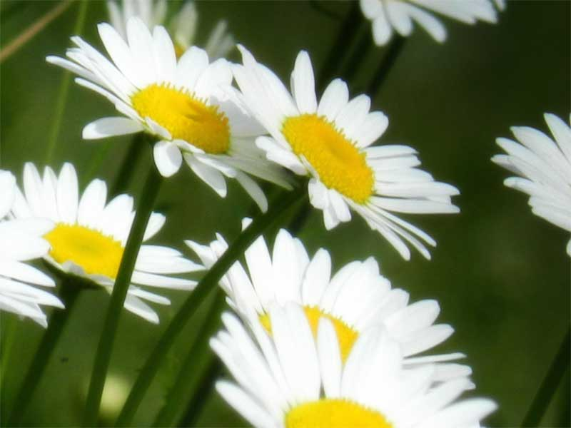 An photo of daisies.
