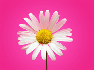 A photo of a bright white daisy on a vivid pink background