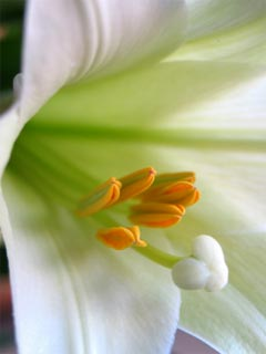 A photo of an Easter lily