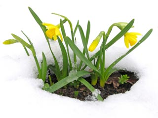 Photo of yellow flowers in the snow