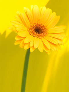A photo of yellow flower on a yellow background