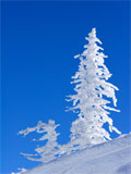 Photo of a snow covered pine tree against a blue sky