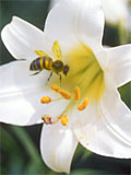 Photo of a lily and a bee