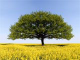 Photo of an old oak tree in a meadow