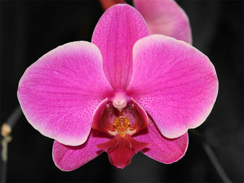 A photo of an orchid