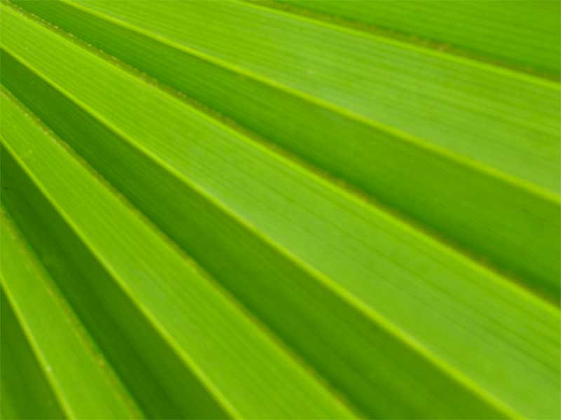 A photo of a palm leaf