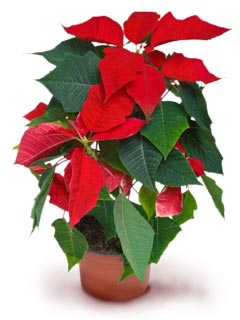 A photo of a poinsettia