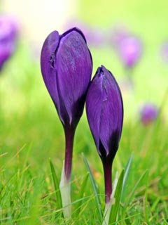 A photo of a bright purple crocus against a lush green background