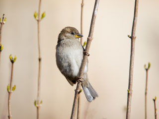 Photo of a sparrow perched on a stick