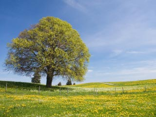 Photo of a single large tree in a green field sprinkled with small yellow flowers