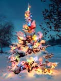 Photo of a snow covered pine tree with Christmas lights