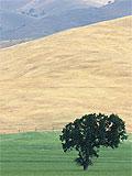 Tree on plain