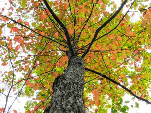 A photo looking up at a tree